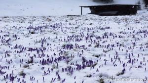 Śnieg nakrapiany fioletem :)