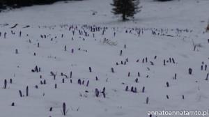 Krokusy na zaśnieżonej hali